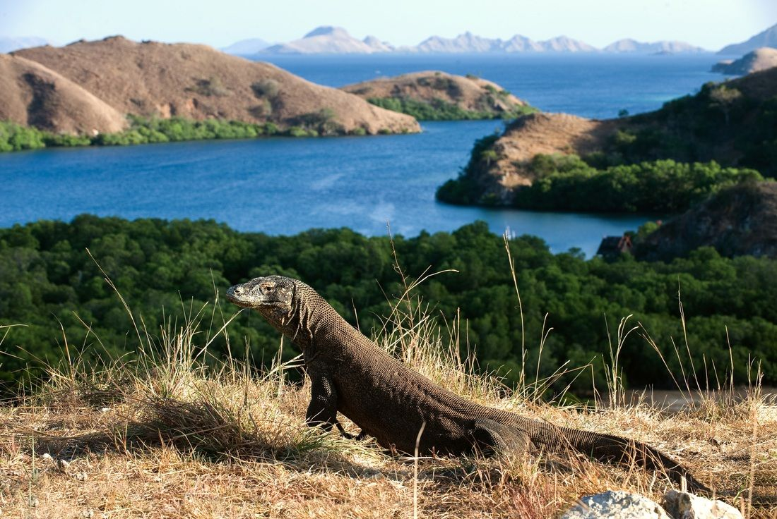 Komodo - Photo 11